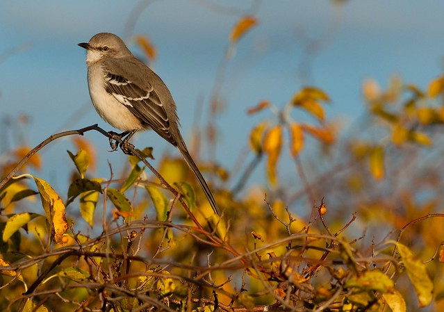 Northern Mockingbird: Mocking me