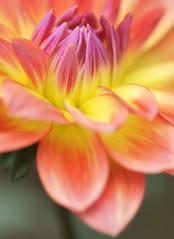 DAHLIA (ajpscs) Tags: dahlia autumn flower macro japan japanese tokyo nikon 日本 nippon 東京 花 tamron マクロ 調布 d300 友情 chōfu b01 jindaishokubutsukoen ニコン 神代植物公園 ajpscs タムロン tamron180mm awesomeblossoms yuujou spaf180mmf35
