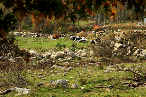 Cows in a rock farm