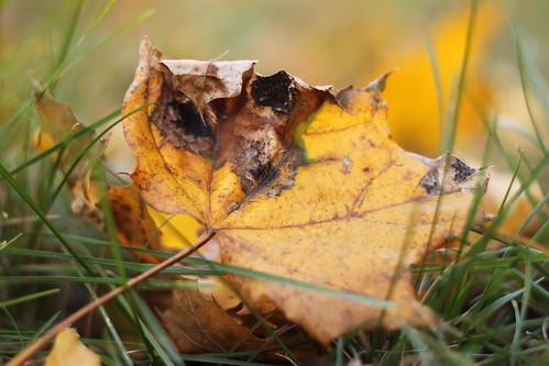 45/52: golden leaf in grass