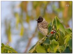 Good Morning (Yogendra174) Tags: india color bird birds canon bokeh maharashtra pune joshi bulbul yogendra redventedbulbul birdphotography canonrebelxs sigmaapodgmacro70300