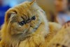 Persan (Lefort Johan) Tags: portrait cats baby cute cat kitten chat pentax johan mignon chaton persan lefort bestofcats k200d lefortjohan