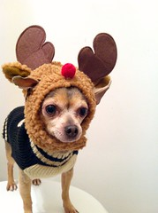 Titouni de Nwl (elka_) Tags: christmas xmas red dog chien brown white chihuahua black cute hat fur reindeer nose costume sweater beige funny holidays quebec montreal coat small snapshot adorable knit horns mini rednose suit whitebackground jacket gift tiny kawaii surprise hood bone bluedog doggy rudolph vest nol velcro doggie bois cadeau iphone drle hooded minion cornes ftes comique capuche amusant piku petitchien