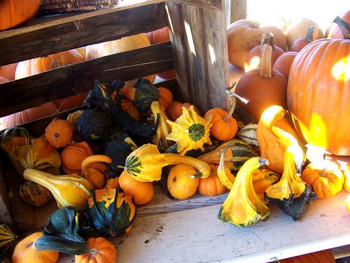 101016 Pumpkin Patches 01 copy