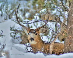 We Found Each Other ... (Aspenbreeze) Tags: winter snow nature animal stag deer antlers wildanimal buck camoflauge maledeer specanimal aspenbreeze mygearandmepremium