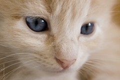 20080816_9032b (Fantasyfan.) Tags: blue pet baby macro cute animal topv111 closeup tag3 taggedout eyes furry topv555 topv333 kitten tag2 tag1 topv1111 topv999 fluffy topv777 fantasyfanin pixeli highqualityanimals siirretty
