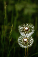 Pattern Baldness (Zachary Repp) Tags: life plant flower green nature living weed natural seed dandelion oxygen canon50d canon70200f4lis