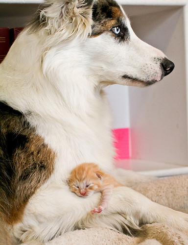 cute ginger kitten and border collie dog