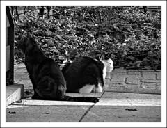 you watch the right, i watch the left (Caroliwen) Tags: en cats white black holland dutch katten zwart wit poezen
