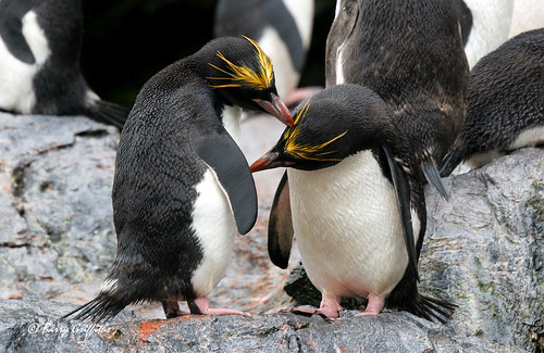 Macaroni Penguins by Barry Griffiths CAD