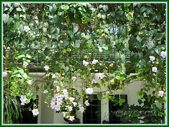 Thunbergia laurifolia vine (Blue Trumpet Vine, Blue Sky Vine, Laurel-leaved Thunbergia, Laurel Clock Vine), as a beautiful screen/curtain at the house's frontage