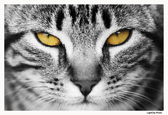 Pussy Cat (Pedro Pisco - Thank You All for The 340.000 Visits) Tags: bw white black art nature look yellow espelho branco cat canon nose mirror reflex olhar arte zoom natureza pussy natura pb preto amarelo gato felino hunter fofo nariz instinct selvagem sauvage misto bigodes instinto objectiva flickraward flickraward5 flickrawardgallery moustachebigode