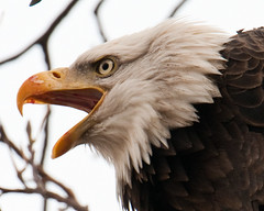 It Was My Fish ( Craig Leaper) Tags: nature inflight eagle dam wildlife baldeagle explore baldeagles conowingo supershot explored avianexcellence dailynaturetnc11