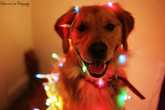 The best way to spread Christmas Cheer, is singing loud for all to hear-Elf *Explore[d]* (Golden Moments Petography) Tags: christmas boy dog silly colors smile canon happy 50mm lights golden jasper retriever canonxt multi picnik
