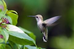 Hummingbird (carpingdiem) Tags: birds hummingbird captive sandiegozoo itsazoooutthere