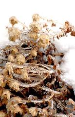 still life (MY PINK SOAPBOX) Tags: flowers winter stilllife plants naturaleza snow flores ice nature fleur death frozen flora nikon plantas decay mort hiver natura invierno icy fiori frigid hielo helada naturalezamuerta muertas congelada anahidecanio