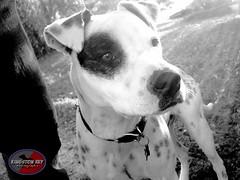blessed (Willow Creek Photography) Tags: dog dogs puppy tyson canine pitbull mansbestfriend k9 apbt whitepitbull pitbullterrier pitbullpuppy malepitbull spottedpitbull americapitbullterrier kingstonreyphotography
