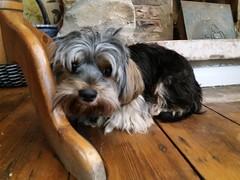 Flo Yorkie Poo Dog at Kavanagh's Tea Rooms Church Passage Oakham Rutland (@oakhamuk) Tags: flo yorkiepoo dog kavanaghstearooms churchpassage oakham rutland