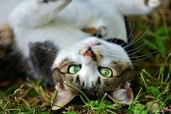 ~~ Tu me fais tourner la tête....~~ (Joélisa) Tags: charlotte chat cat gato envers fun drôle juillet2017 yeux eyes vert green