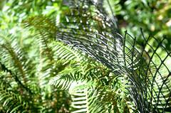 Ferns Along the Fence Line 2 of 2 (Orbmiser) Tags: southparkblocks 55200vr bent curved d90 fence nikon oregon portland summer ferns