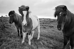 Icelandic horses - Ilford Delta 400 (magnus.joensson) Tags: iceland winter blackandwhite canon prima as1 ilford delta 400 xtol nofilter handheld horses