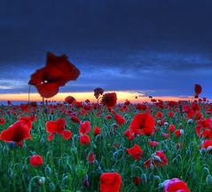 Summer lips (Robyn Hooz) Tags: alba papaveri campo rosso tessera cielo nuvole grigio sorgere sole verde