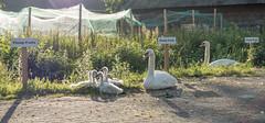 Plump Fruits (Jorden Esser) Tags: nederlandvandaag otherkeywords vlaardingen cygnet cygnets garden light net sitting swan swans parking family hoogstad plumpfruits