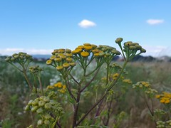 Tanacetum vulgare (Iggy Y) Tags: tanacetumvulgare tanacetum vulgare spring blossom flower yellow color flowers nature field plant vratić goldenbuttons tansy sunny light blue sky white cloud day