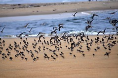 Fleet takes Flight ! (nanda_uforians) Tags: bridge sea birds flight migration fleet besantnagar bayofbengal brokenbridge nikond90