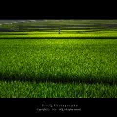 Summer Rice Field * (HarQ Photography) Tags: summer green japan agriculture ricefield bestcapturesaoi elitegalleryaoi