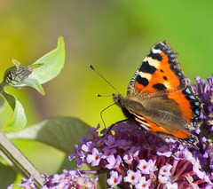 tortoiseshell butterfly on lilac (Cagey75) Tags: summer orange butterfly nikon warmth tortoiseshell lilac d200 kgphotography