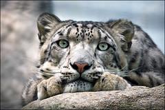 snow leopard (heavenuphere) Tags: saintaignan staignan loiretcher centre france zooparcdebeauval zooparc beauval zoo snowleopard snow leopard portrait 55250mm gi 8