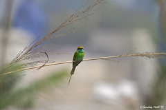 Green Bee Eater (www.sandeepmall.com) Tags: india delhi meropsorientalis greenbeeeater avians littlegreenbeeeater canoneos50d okhlabirdsanctuary sigma150500 sandeepmall sandsminoo