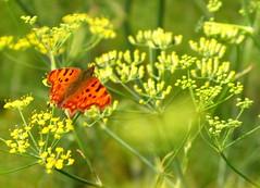 Comma (pixmad) Tags: july southport butterflyconservation heskethpark bigbutterflycount