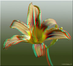 Day Lily (starg82343) Tags: portrait flower manipulated outside outdoors stereoscopic 3d stem pretty lily blossom brian anaglyph ps stereo daylily wallace throughthewindow stereoscopy stereographic spm ttw brianwallace stereoimage stereopicture
