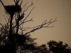 Protecting the nest (Plamen Velev) Tags: vienna wien urban heron digital spider spiders wildlife web olympus e3 development zuiko webs herons swd omv donauinsel 70300 plamen hubertusdamm wasserpark 50200 velev e350200swd70300wildlifebirdsspiderheronwasserparkvienna e350200swd70300wildlifebirdsspiderheronwasserparkvie
