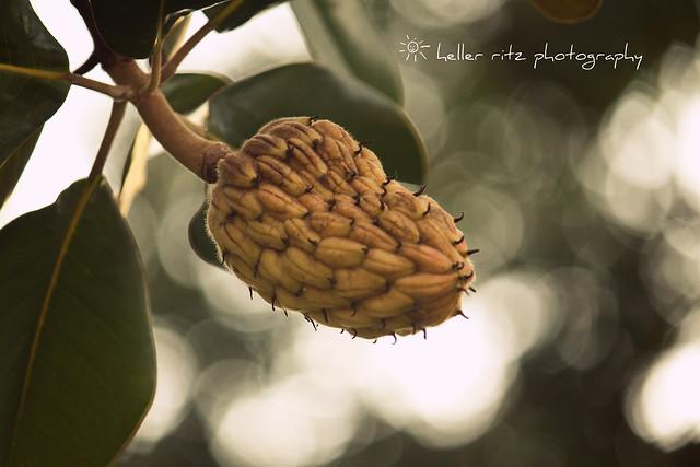 Magnolia Pod_Tagged