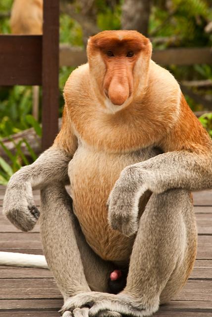 """Jonathan"", Labuk Bay Proboscis Monkey Reserve, Sabah, Malaysia"