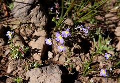 Cascade Downingia (Downingia yina), flowers (Arboreal Boids) Tags: oregon alpine steens harneycounty steensmountains downingia cascadedowningia downingiayina willamettedowningia