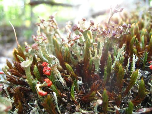 Fructicose Lichens