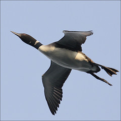 This is how Loons fly (NaPix -- (Time out)) Tags: morning sky lake canada nature sunrise fly wings action wildlife flight redeye loon gaviaimmer specanimal canonef70200mmf4lisusm canonef14xiiextender napix greatnorthernloon