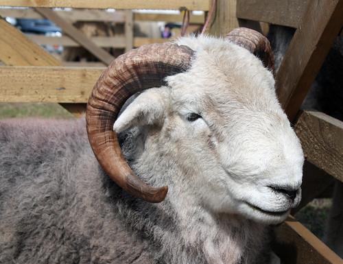 Herdwick ram face