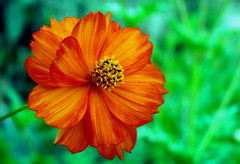 one (bdaryle) Tags: orange flower nature fleur one petals sony flor cosmos brandondaryle bdaryle imagesbybrandon