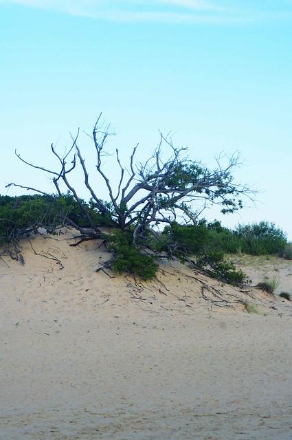 Dune Trees
