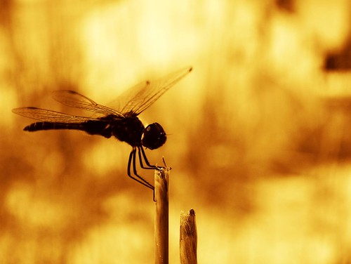 Wordless Wednesday: Dragonfly