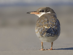 The last of the Terns (NY_Girl) Tags: beach banded commontern sternahirundo migrate photocontesttnc10 worncommontern sigma50th