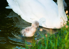 so cute! (mav_at) Tags: baby cute swan wasser schwan prater vogel kken ss kw36 onceeins