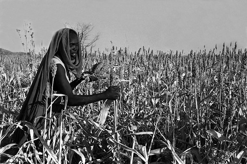 sudan567-kassala-harvesting-sorghum