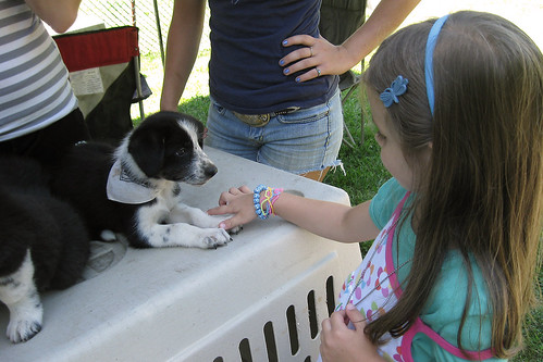 Zoar, Ohio Harvest Festival 2010:  Border collie pup.