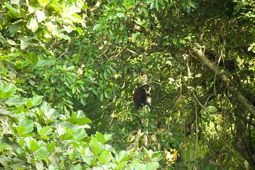 L'Hoest's Monkey - Bigodi Wetland Sanctuary, Uganda